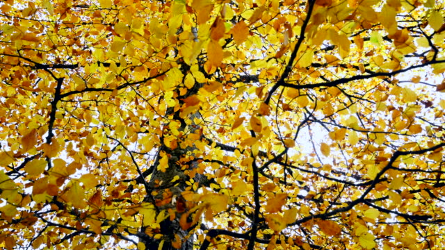 a beech in autumn - comunidad foral de navarra stock videos and b-roll footage