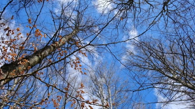 beech in the spring against blue sky with clouds - bare tree stock videos & royalty-free footage