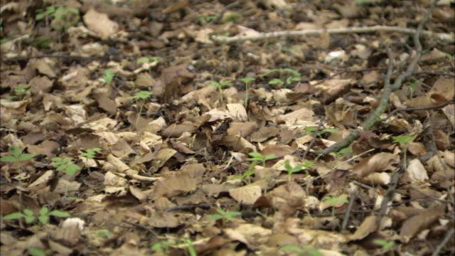 Beech (Fagus sylvatica) leaf litter on woodland floor, UK