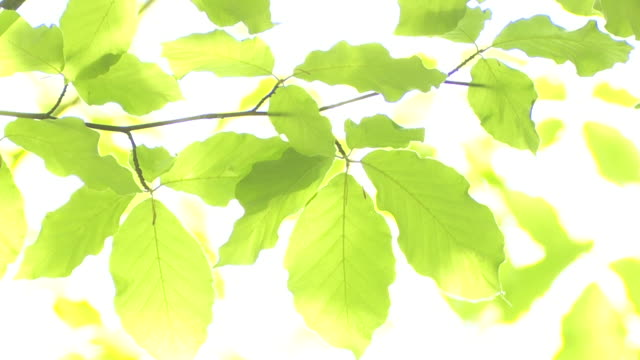 beech leaves in the sunlight rack focus - beech tree stock videos and b-roll footage