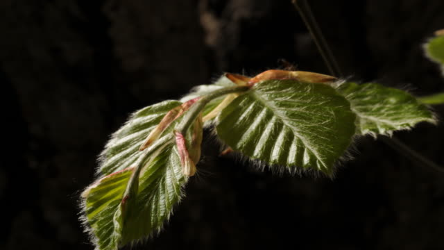 vídeos y material grabado en eventos de stock de beech leaves opening time lapse. fagus sylvatica, spring time. dark background close up - árbol latente
