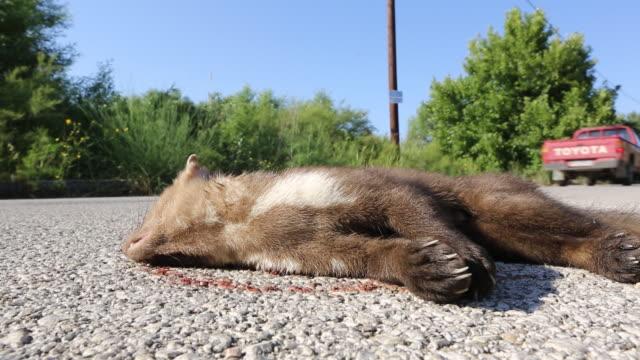 a beech marten (martes foina) killed on the road in skala eresou, lesvos, greece. - run over stock videos & royalty-free footage