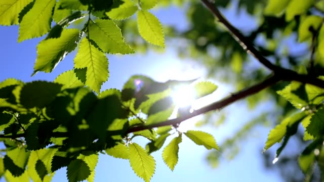 beech or elm - spring landscape - foliage - HD