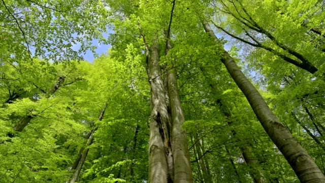 beech tree forest in spring, spessart, bavaria, germany - plant attribute stock videos and b-roll footage