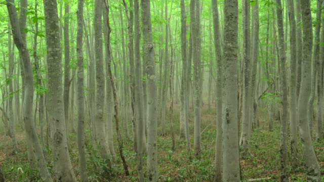 beech tree forest | punning | bulk 3/11 - plusphoto stock videos & royalty-free footage