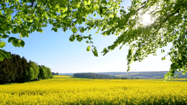 beech tree leaves and blooming rape field with sun in spring, gottersdorf, walldürn, odenwald, baden-württemberg, germany - oilseed rape stock videos & royalty-free footage