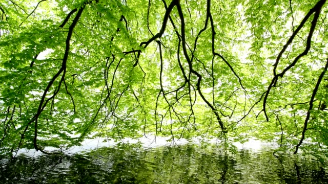 beech tree leaves in spring on lake, lake worthsee, fuenfseenland, upper bavaria, germany - beech tree stock videos and b-roll footage