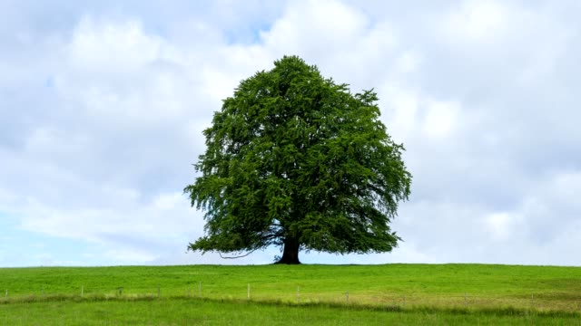 beech tree on meadow in summer, upper bavaria, bavaria, germany - beech tree stock videos and b-roll footage