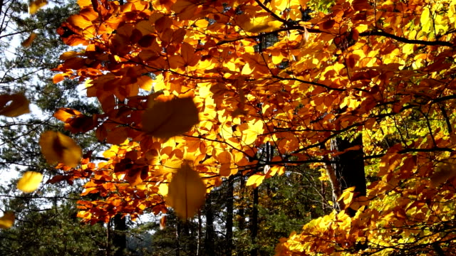 beech trees in autumn and fallen leaves - shed stock videos & royalty-free footage