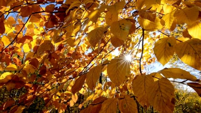 vídeos de stock, filmes e b-roll de beech trees with sun in autumn, lainzer tiergarten, vienna, vienna, austria, europe - faia árvore de folha caduca
