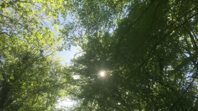 vídeos de stock, filmes e b-roll de beech wood in early summer - célula vegetal