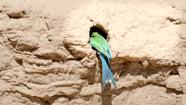bee-eater preparing nest burrow - southern africa stock videos & royalty-free footage
