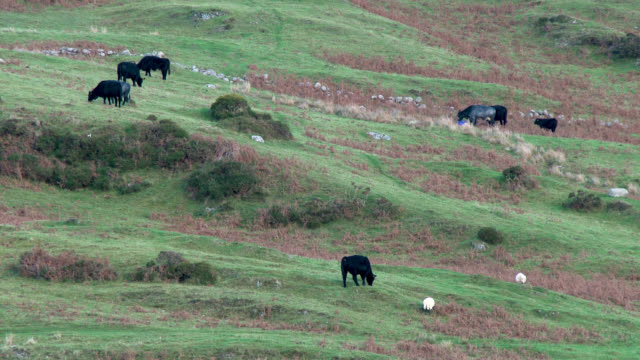 Beef cattle and sheep on a remote Scottish hillside
