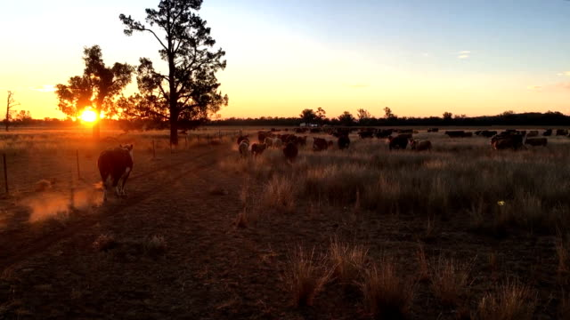 beef cattle and sunset - beef cattle stock videos & royalty-free footage