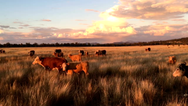 beef cattle at dusk - beef cattle stock videos & royalty-free footage