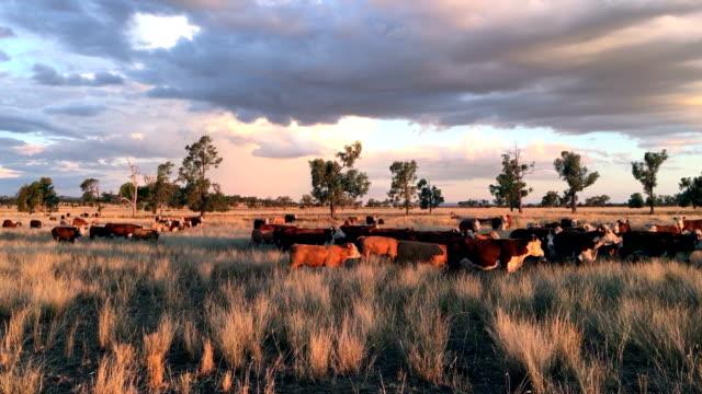Beef cattle at Narrabri