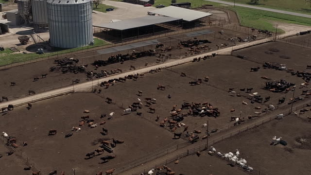 Beef cattle at the Texana Feeders feedlot in Floresville TX USA on Monday May 7 2018