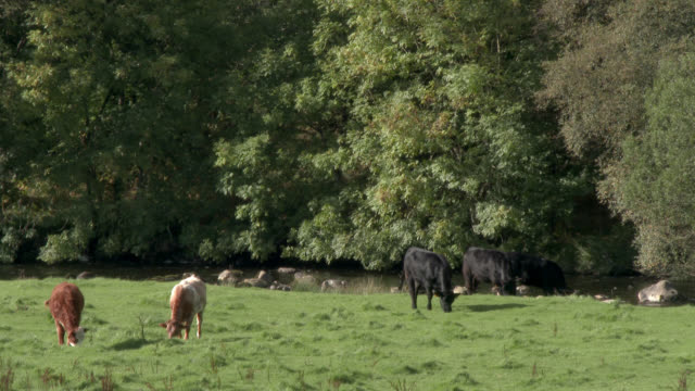 beef cattle grazing in a scottish field - johnfscott stock videos & royalty-free footage