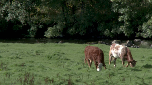 beef cattle grazing in a scottish field - beef cattle stock videos & royalty-free footage