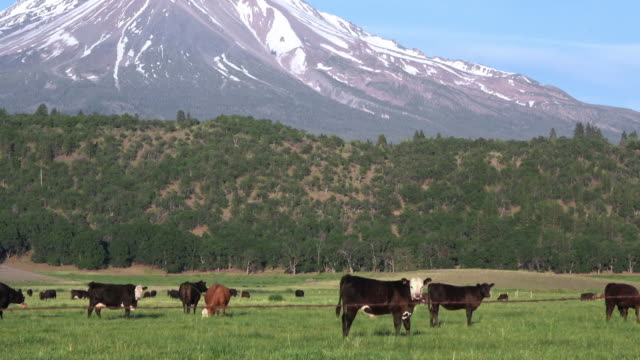beef cattle grazing in green organic pasture - grass fed stock videos & royalty-free footage