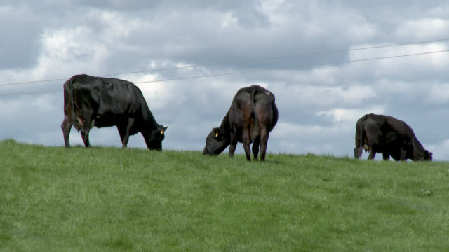 beef cattle grazing on a hill - galloway scotland stock videos & royalty-free footage