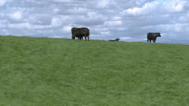 Beef cattle grazing on a hill