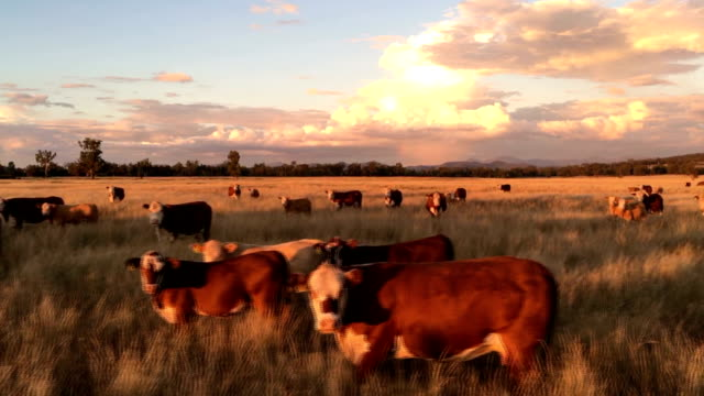 beef cattle grazing on grass - cattle stock videos & royalty-free footage