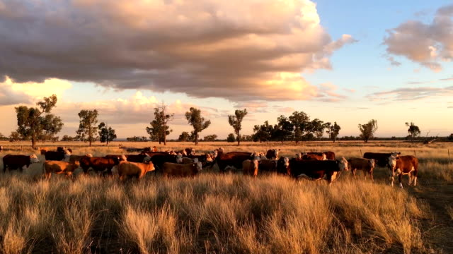 beef cattle grazing - ranch stock videos & royalty-free footage