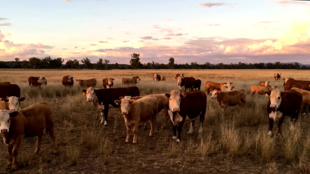 beef cattle grazing - grazing stock videos & royalty-free footage