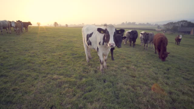 Beef cattle in a field at sunset.
