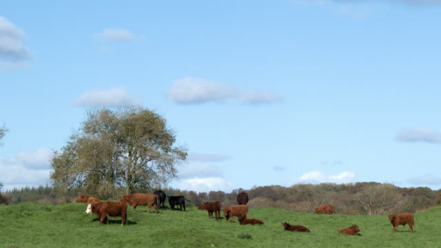 beef cattle in a field in dumfries and galloway - beef cattle stock videos & royalty-free footage