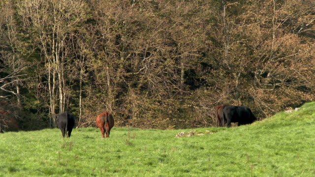 beef cattle in a field in dumfries and galloway - johnfscott stock videos & royalty-free footage