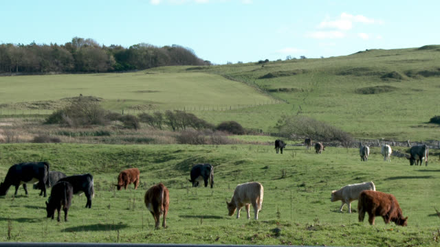 beef cattle in a field in dumfries and galloway - cattle stock videos & royalty-free footage