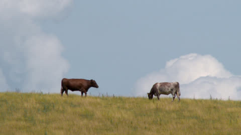 beef cattle in a field in south west scotland - grazing stock videos & royalty-free footage