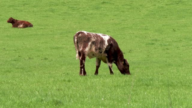 beef cattle in a field on a bright spring afternoon - galloway scotland stock videos & royalty-free footage