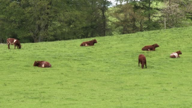 vídeos de stock e filmes b-roll de beef cattle in a field on a bright spring afternoon - pastar