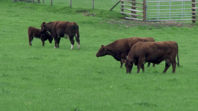 beef cattle in a field on a bright spring afternoon - grazing stock videos & royalty-free footage