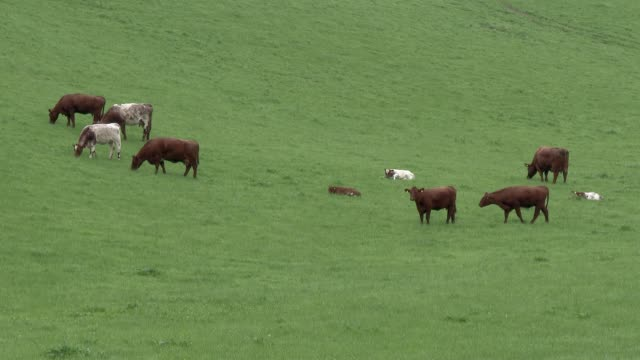 Beef cattle in a field on a bright spring afternoon