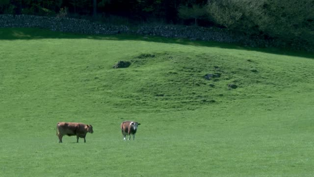 beef cattle in a field on a bright spring afternoon video - johnfscott stock videos & royalty-free footage