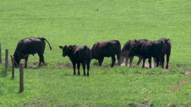 beef cattle in a field on a bright spring afternoon video - beef cattle stock videos & royalty-free footage