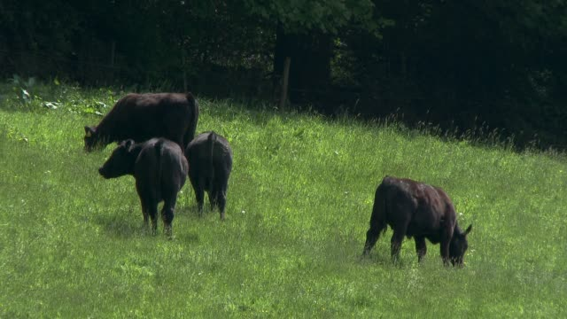 beef cattle in a field on a bright spring afternoon video - calf stock videos & royalty-free footage