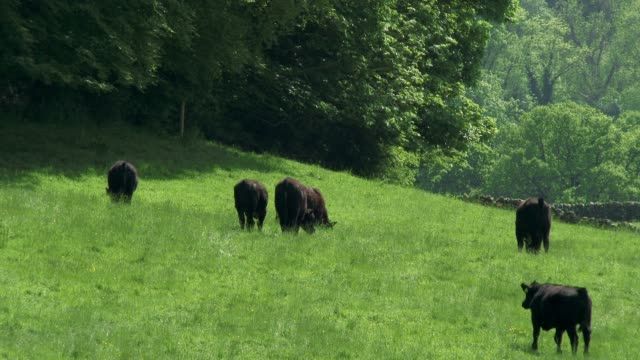 Beef cattle in a field on a bright spring afternoon video