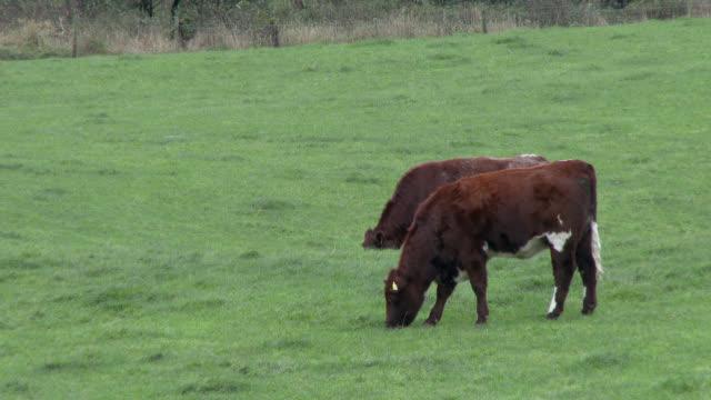 vidéos et rushes de bovins de boucherie dans un champ sur une journée nuageuse à dumfries et galloway - brouter