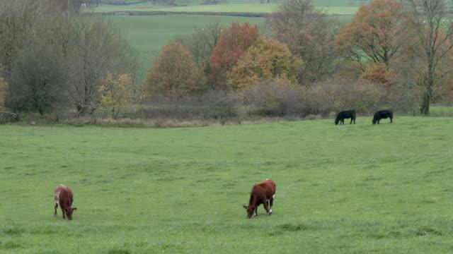 In einem Feld an einem bewölkten Tag in Dumfries und Galloway Rinder