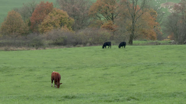 Bovins de boucherie dans un champ sur une journée nuageuse à Dumfries et Galloway