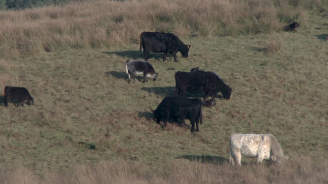 Beef cattle in a Scottish field