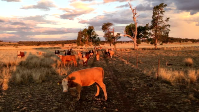 beef cattle in the afternoon sun - female animal stock videos & royalty-free footage