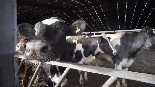 Beef cattle in the barn in winter