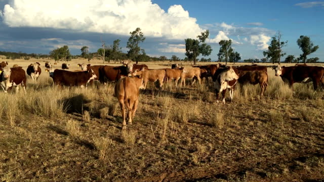 beef cattle moving - ranch stock videos & royalty-free footage