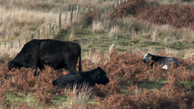Beef cattle on a remote Scottish countryside